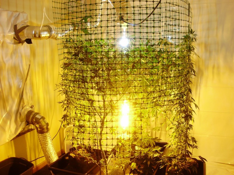 Increase Your Grow Space With Scrog Cannabis Industry